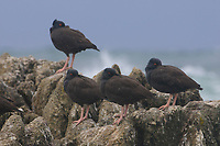 Flock of Black Oystercatchers (Haematopus bachmani) roosting on coastal rocks. Monterey County, California. October.