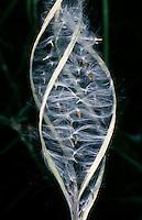 Schmalblättriges Weidenröschen, Samen, Epilobium angustifolium, Fire Weed, Rosebay Willowherb