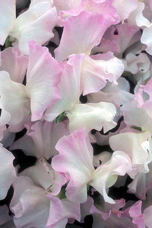 Lathyrus 'Anniversary' pink and white bicolor picotee bicolour sweetpeas fragrant annual climbing vine flowers