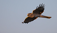I usually get some good views of Northern Harriers during my spring visits to eastern Idaho.