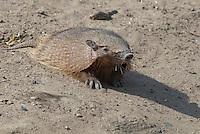 Harig Gordeldier (Chaetophractus villosus)