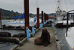 Bull California sea lion guarding dock in Astoria