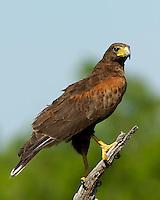 Harris's Hawk, El Tecalote Ranch, South Texas