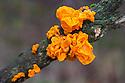 Yellow Brain Fungus {Tremella mesenterica}, Lake District National Park, Cumbria, UK. February.