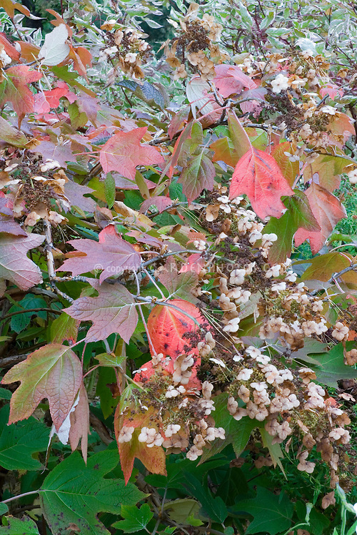Hydrangea quercifolia in autumn color and flowers   Oakleaf Hydrangea