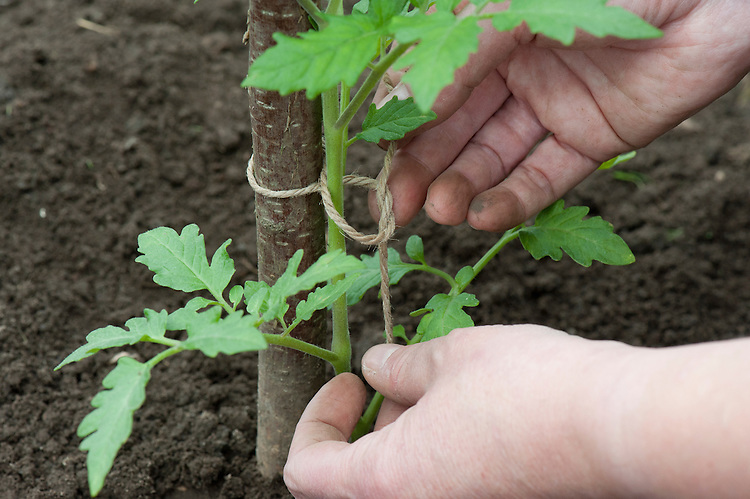 Securing tomato seedlings to a hazel pole using a figure-of-eight knot in garden twine.
