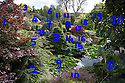 27/10/16<br /> <br /> You'd be forgiven for thinking that after more than 50 years running a garden nursery, 67-year-old John Massey would be enjoying the peace and tranquillity of retirement.<br /> <br /> But not a bit of it, if anything this keen plantsman is now busier than ever, caring for his own three-acre garden, a beautiful 'all seasons' oasis set in the heart of industrial Birmingham.<br /> <br /> Full story: https://fstoppressblog.wordpress.com/birmingham-garden-in-stunning-autumn-colour/<br /> <br /> 1 Acer palmatum 'Bloodgood'<br /> 2 and 5 Tsuga canadensis 'Albospica'<br /> 3 Gleditsia triacanthos 'Sunburst'<br /> 4 Cornus alba 'Aurea'<br /> 6 and 11 Betula 'Fascination'<br /> 7 Abies concolor 'Violacea'<br /> 8 Abies nordmanniana 'Golden Spreader'<br /> 9 Waterlilly<br /> 10 Berberis thunbergii 'Rose Glow'<br /> 12 Gleditsia triacanthos 'Ruby Lace'<br /> 13 Cephalotaxus harringtonia 'Fastigiata'<br /> 14 Acer palmatum dissectum 'Garnet'<br /> 15 Juniperus squamata 'Blue Carpet'<br /> 16 and 22 Euonymus alatus 'Rudy Haag'<br /> 17 Euonymus alatus 'Fire Ball'<br /> 18 Sophora japonica 'Dot'<br /> 19 Robinia pseudoacacia 'Twisty Baby'<br /> 20 Fagus sylvatica 'Dawyck Purple'<br /> 21 Gunnera manicata<br /> <br /> MORE…<br /> <br /> All Rights Reserved: F Stop Press Ltd. +44(0)1773 550665 www.fstoppress.com