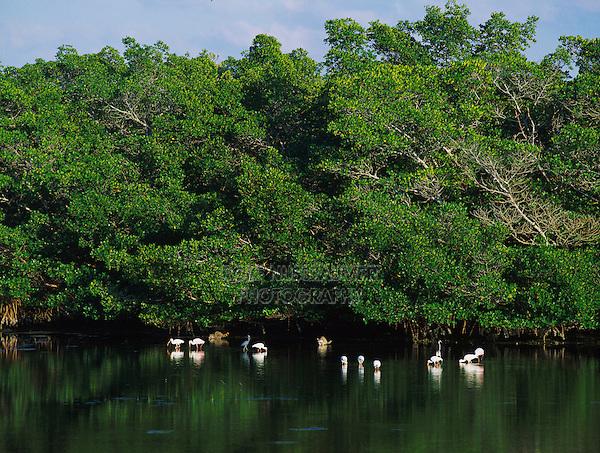 Mangroves with feeding Waders and Raccoons, J. N. Ding Darling National Wildlife Refuge, Sanibel Island, Florida, December 1998