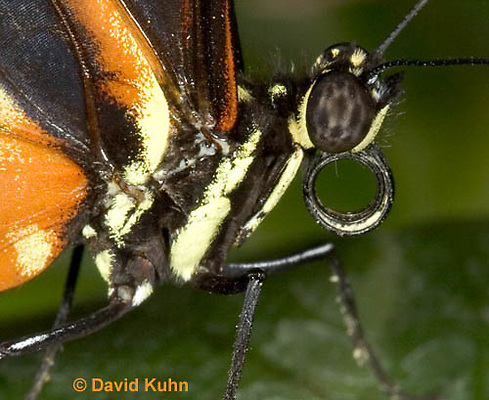0402-08yy  Close-up of Tiger Longwing Butterfly, Detail of Proboscis Coiled Up, Heliconius hecale, South and Central America © David Kuhn/Dwight Kuhn Photography