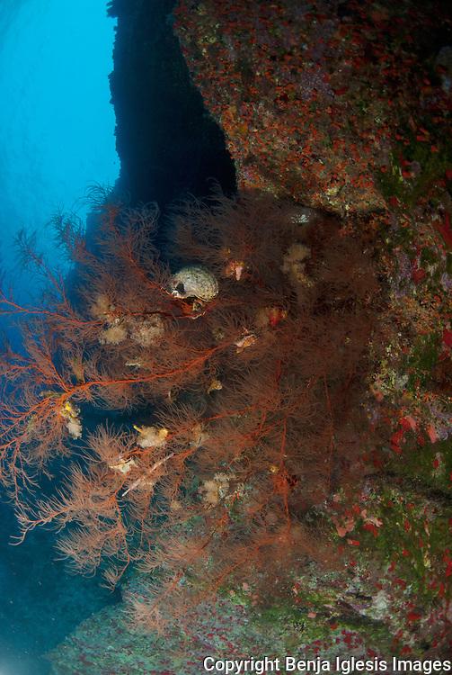 Black coral bush on the back wall of Molokini, depth 110 feet.Maui Hawaii.