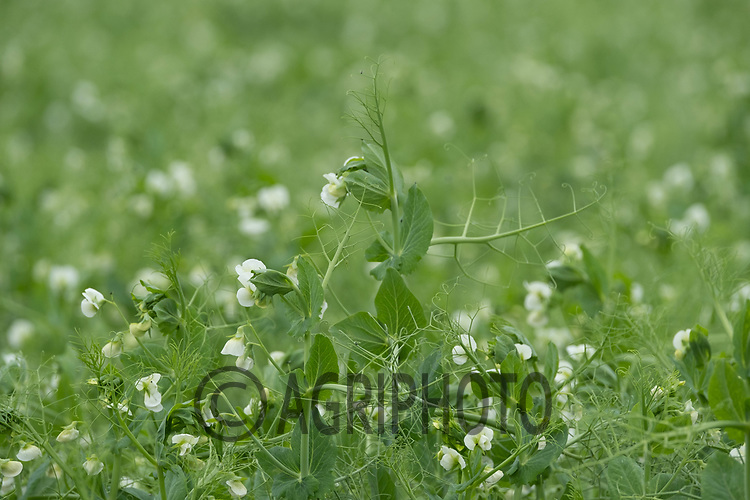 Peas flowering <br /> ©Tim Scrivener Photographer 07850 303986<br />      ....Covering Agriculture In The UK....
