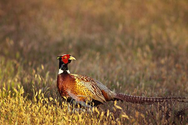 Male ring-necked pheasant (Phasianus colchicus).