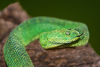 489590007 a captive bluish-green coloration west african bush viper atheris chlorechis sits coiled on a limb