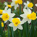Narcissus 'Wisley', late March.