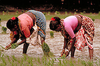 In Madras, India, women in colorful, traditional clothing plant rice; a staple of the country. woman, food, rice, planting, crops, agriculture. Indian women planting rice. Madras, India rice fields.