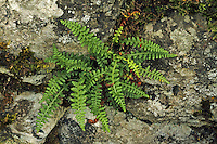 Jura-Streifenfarn, Asplenium fontanum, Smooth Rock Spleenwort, Smooth Rock- spleenwort, Asplénium des fontaines