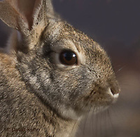 1115-0803  Desert Cottontail Rabbit (Audubons Cottontail), Sylvilagus audubonii © David Kuhn/Dwight Kuhn Photography