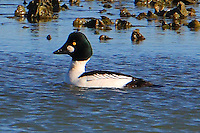 Adult male common goldeneye at edge of oyster reef in Carlos Bay