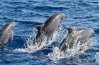 Three Common Bottlenose Dolphins, Tursiops truncatus, breaching simultaneously, Maldives, Indian Ocean
