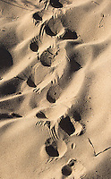 Echidna tracks in Cape Range National Park.  Note how the claws of the bent back foot trail behind.