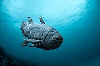 coelacanth, Latimeria chalumnae, have recently been found in Madagascarm, Africa, digital illustration