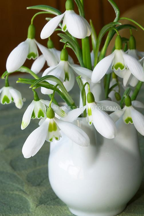 Galanthus snowdrops bulbs flowers in vase picked, including Armine, Scharlockii, Comet