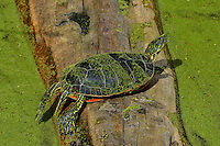 Western Painted turtle sunning on log.  June.  Western U.S..  Pond and turtle are covered with duckweed.