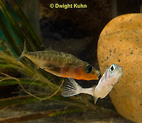 1S47-538z Threespine Stickleback, male courting gravid female with a zigzag dance, she responds with a head-up posture to display her swollen belly, Gasterosteus aculeatus
