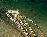 A mimic octopus moves rapidly to escape the divers nearby.<br /> <br /> The mimic octopus was not discovered officially until 1998, off the coast of Sulawesi, Indonesia. This is the only octopus known to mimic the appearance and mannerisms other species.  Mimic octopus have been known to imitate more than fifteen different species, including sea snakes, lionfish, flatfish, brittle stars, giant crabs, sea shells, stingrays, flounders, jellyfish, sea anemones, and mantis shrimp.