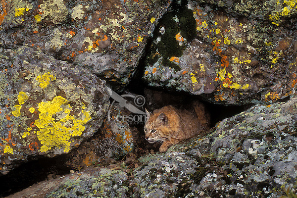 BOBCAT watching for prey in lichen covered cliffs. Autumn. Rocky Mountains. (Felis rufus).