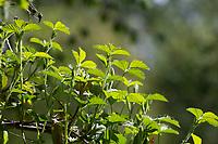 Brombeere, Brombeeren, Echte Brombeere, Rubus fruticosus agg., Rubus sectio Rubus, Rubus fruticosus, blackberry, bramble, ronce, Blatt, Blätter, leaf, leaves