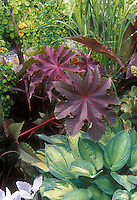 Ricinus communis 'Zanzibar' castor oil bean plant with purple bold foliage, tropical source of Ricin toxin poison, poisonous plant with hosta in garden bed use
