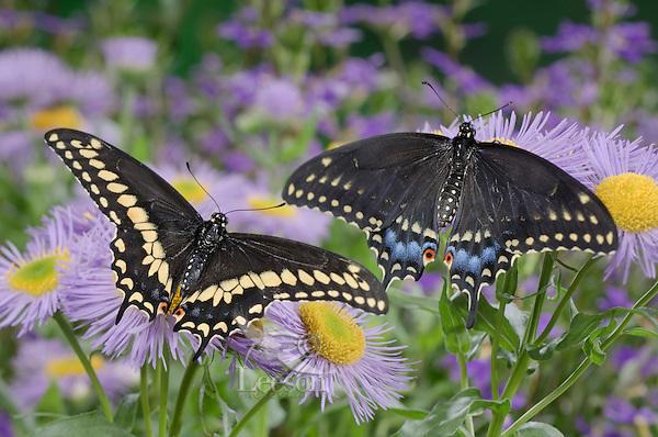 Eastern Black Swallowtail Butterfly (Papilio polyxenes asterius) male (left) and female amid fleabane flowers ( Erigeron speciosus 'Azure Fairy') in backyard garden. Summer. Nova Scotia, Canada.