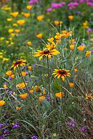 Rudbeckia wildflowers Crescent Farm, sustainable demonstation garden with wildflower meadow; Los Angeles County Arboretum and Botanic Garden