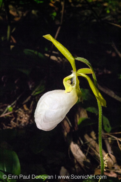 Lady Slipper -Cypripedium candidum-during the spring months on the side of Baldface Circle Trail in the White Mountains, New Hampshire  USA. .Notes: