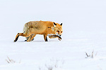 Adult red fox (Vulpes vulpes) walking through deep snow in strong winds. Hayden Valley, Yellowstone, USA. January