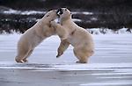 Polar bears fight on the ice, Canada.