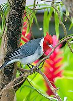 Red-Crested Cardinal (Paroaria coronata),  common red-headed bird,  Kauai, Hawaii