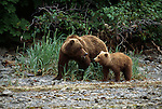 Grizzly Bear and cub in Alaska