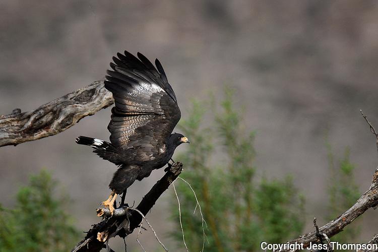 Common Black Hawk take-off, Big Bend National Park