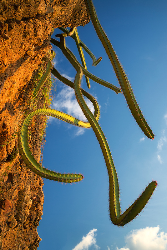 Cactus growing on hillside. Punta Mita, Mexico