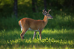 Young white-tailed buck walking in a northern Wisconsin meadow.
