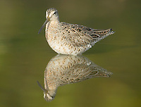 Short-billed Dowitcher (Limnodromus griseus) in shallow water with green trees reflected in Little Estero Lagoon, Fort Myers Beach, Florida, USA