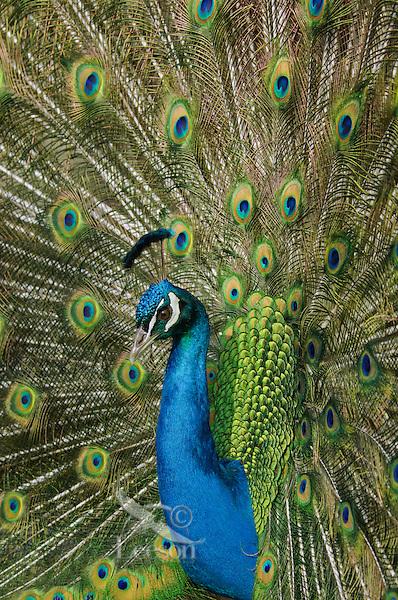 Male Peacock or Indian Peafowl (Pavo cristatus) displaying.