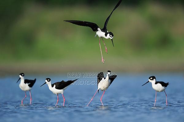 Black-necked Stilt (Himantopus mexicanus), adults fighting, Dinero, Lake Corpus Christi, South Texas, USA