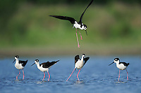 Black-necked Stilt (Himantopus mexicanus), adults fighting, Dinero, Lake Corpus Christi, South Texas, USA