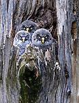 great grey owl or great gray owl (Strix nebulosa), owlets, Washington