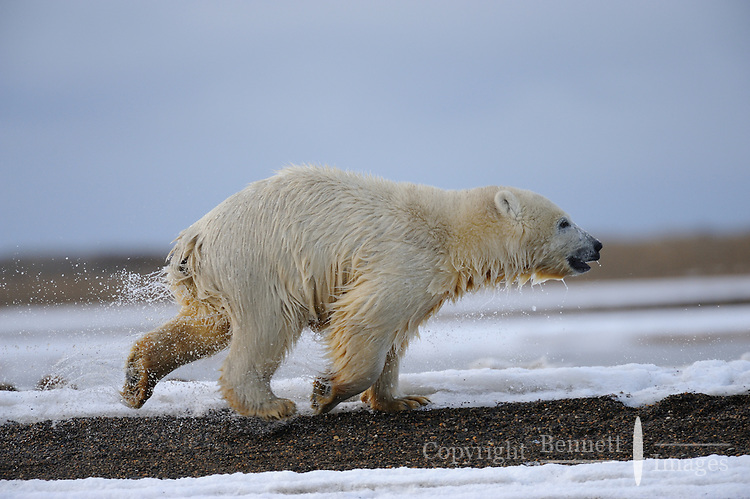 A polar bear cub, still wet from swimming, runs along a barrier island near Kaktovik, Alaska. Every fall, polar bears gather near the community, on the northern edge of ANWR, waiting for the Arctic Ocean to freeze. The bears have become a symbol of global warming.