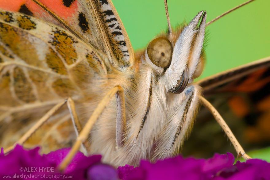 Painted Lady Butterfly {Vanessa cardu}. Peak District National Park, Derbyshire, UK. September.