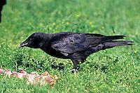 BL04-011z  Crow - cawing - Corvus brachyrhynchos